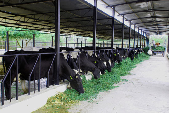 Establishing-a-Dairy-Farm-in-Bangladesh